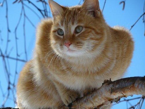 кошка или трехцветный