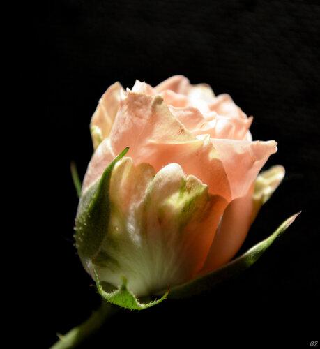 Бутон нежной розы