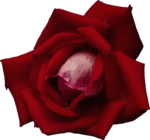 roza2 (59).png