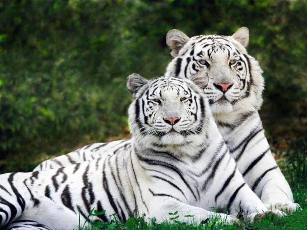 Девушка и тигр в зоопарке