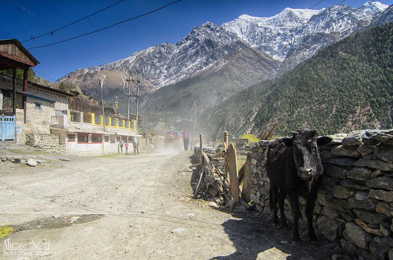 лохматая корова в Тукуче, Гималаи, Непал