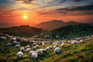 Стадо овец пасется на бездействующих вулканах во Франции