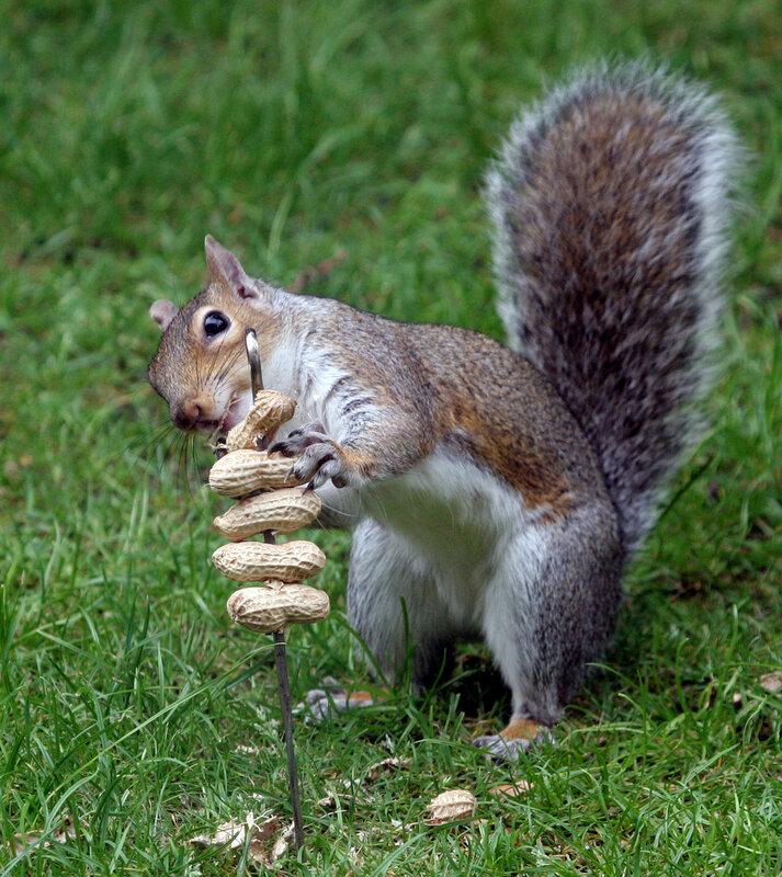Lebensraum  Eichhörnchenfreundede