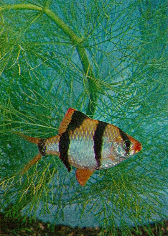 Барбус суматранский Barbus tetrazona (Bleeker)