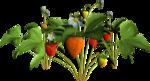 DBA STRAWBERRY PLANT 1.png