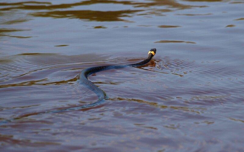 уж обыкновенный (Natrix natrix) плывёт по реке Вятке P5172832.jpg