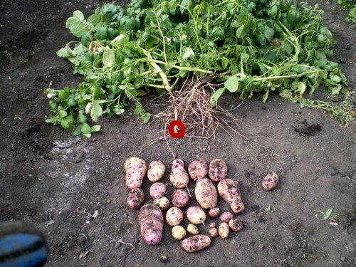 Красным обведена материнская картофелина