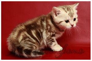 шоколадный серебристый мраморный британский кот