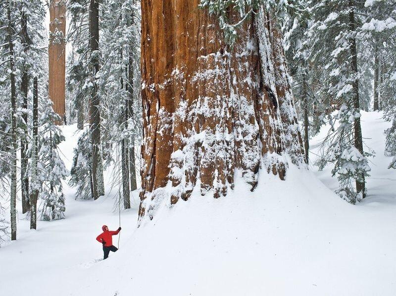 Гигантское мамонтово дерево, покрытое калифорнийским снегом