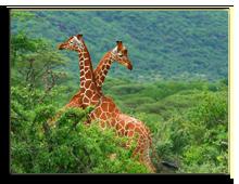 Кения. Масаи Мара. Фото AnnaOmelchenko - Depositphotos