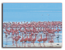 Кения. Озеро Накуру. Flocks of flamingo, lake Nakuru. Фото kenyajavarman - Depositphotos