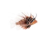Side view of a Broadbarred firefish, Pterois antennata, isolated