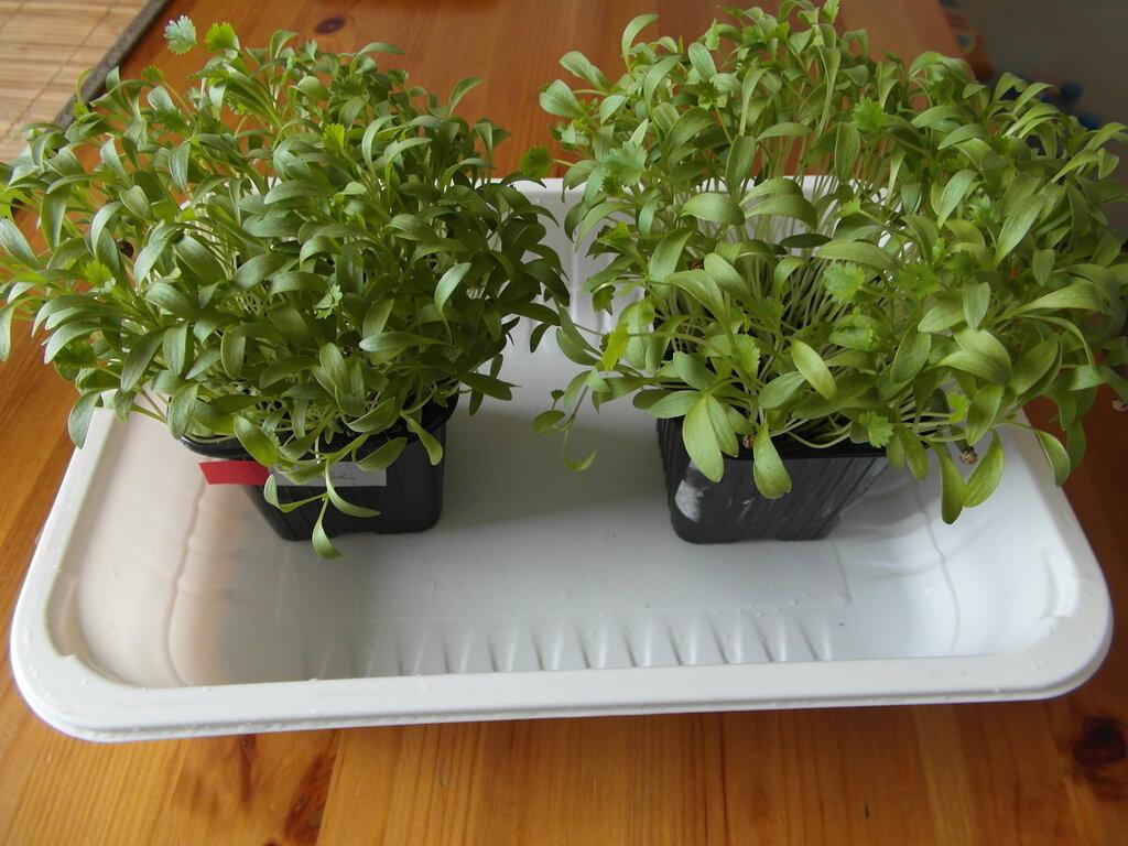 Зелень на подоконнике, спустя 3 недели - огород в городе.