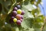 230 Виноград