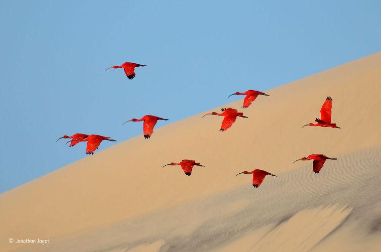 3. Жонатан Жаго (Франция), «Полет красных ибисов». Победитель в категории «Молодой фотограф дикой пр