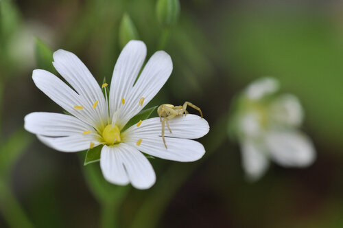 Звездчатка ланцетолистная (Stellaria holostea) Автор фото: Владимир Брюхов