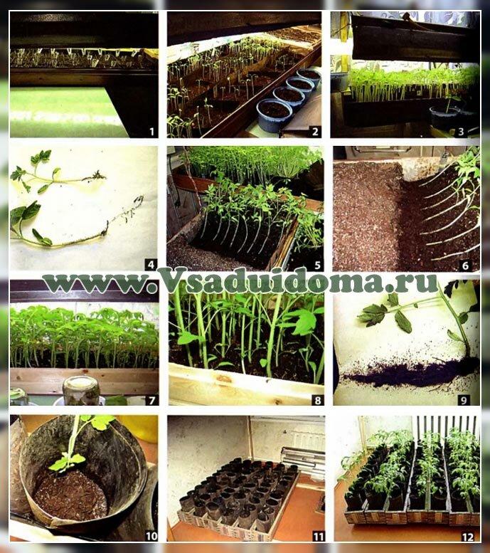 выращивание рассады фото 1