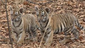 7 тигрят-сирот спасено от голодной смерти с начала года в лесах Приморья