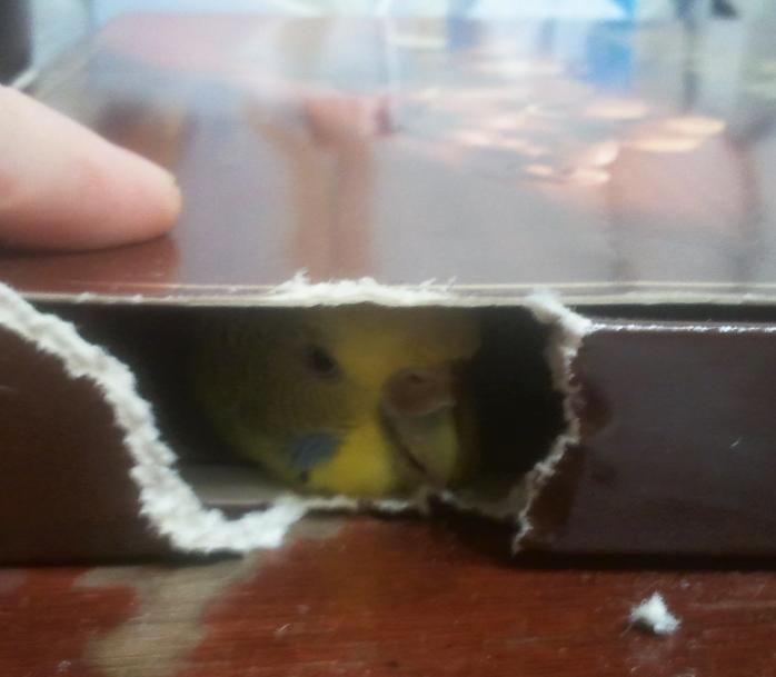 Попугайчики тоже любят коробки