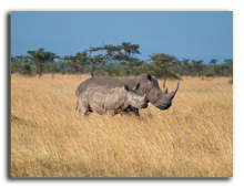 Кения. Rhinos walking safely and away from poachers in the Sweetwaters Game Preserve. Фото Francois_Gagnon - Depositphotos