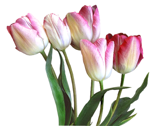 тюльпаны_Tulips (43).png
