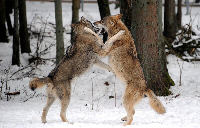 Мир в животном царстве   это очень хрупкая и непродолжительная вещь