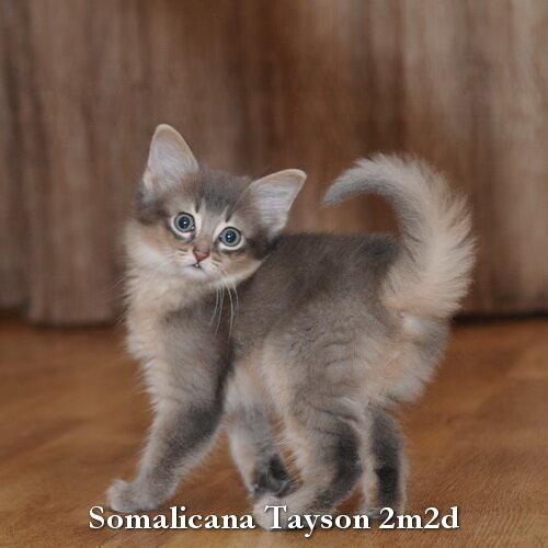 somalicana cattery somali kittens for sale t litter