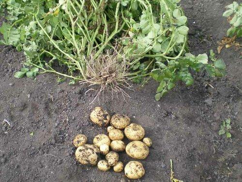 Куст картофеля из трех-четырех стеблей