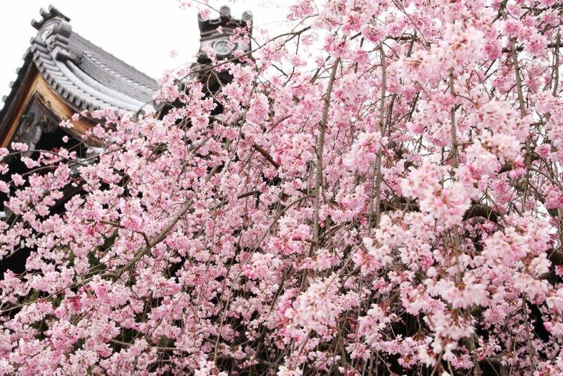 фото сакура в цвету: