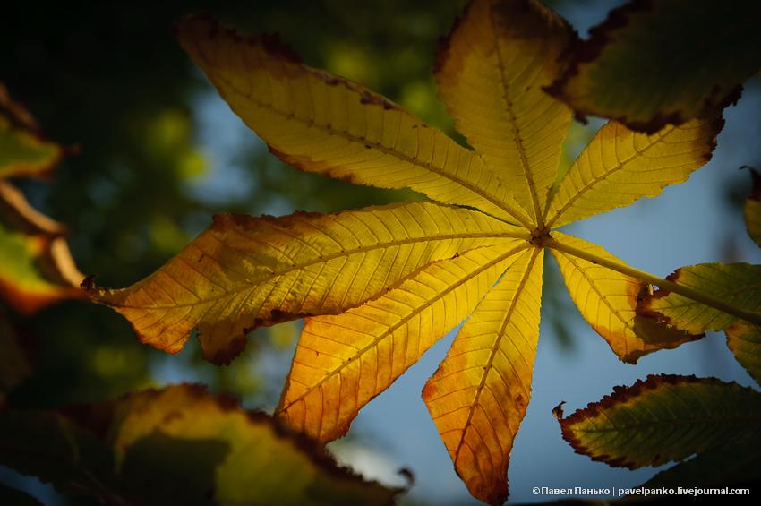 панько pavelpanko листья осень каштан дерево лист