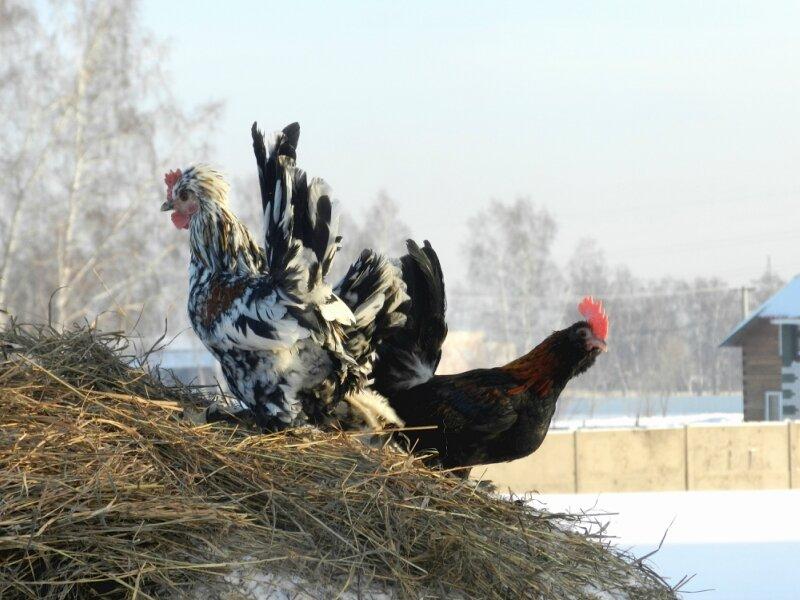 Алтайская бентамка