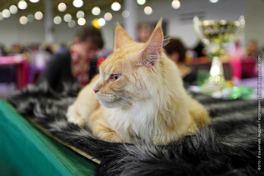 содружество выставка кошек