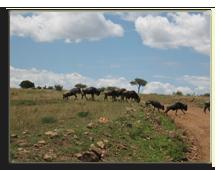 Кения. Масаи Мара. Фото Павла Аксенова