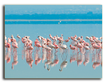 Кения. Озеро Накуру. Flocks of flamingo, lake nakuru, kenya. Фото javarman - Depositphotos