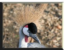 Кения. Озеро Накуру. Head heron balearica. Фото ALesik - Depositphotos