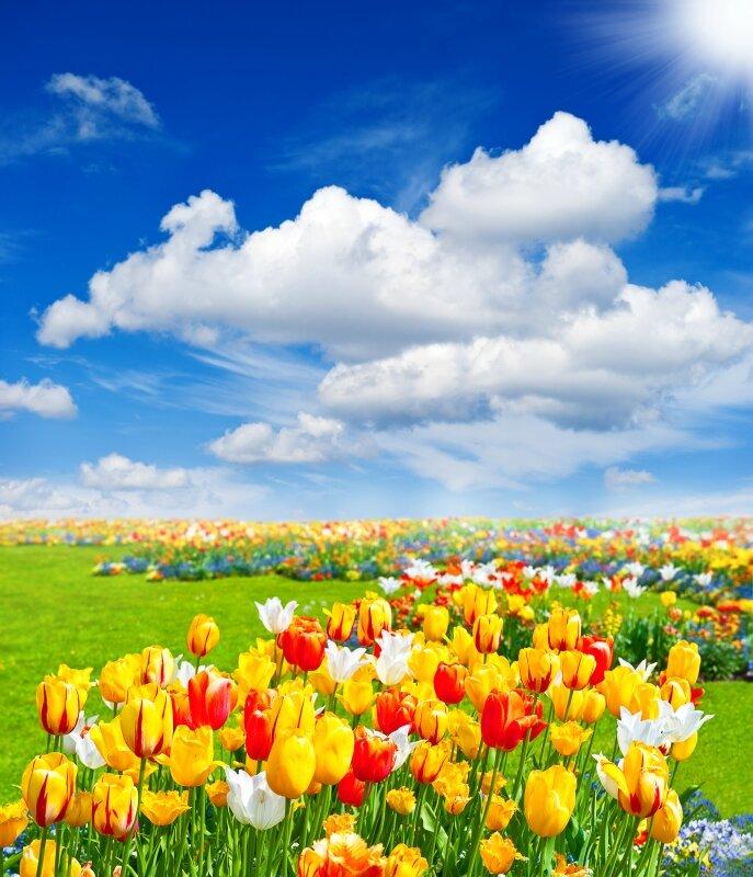 tulip flowers field. spring landscape