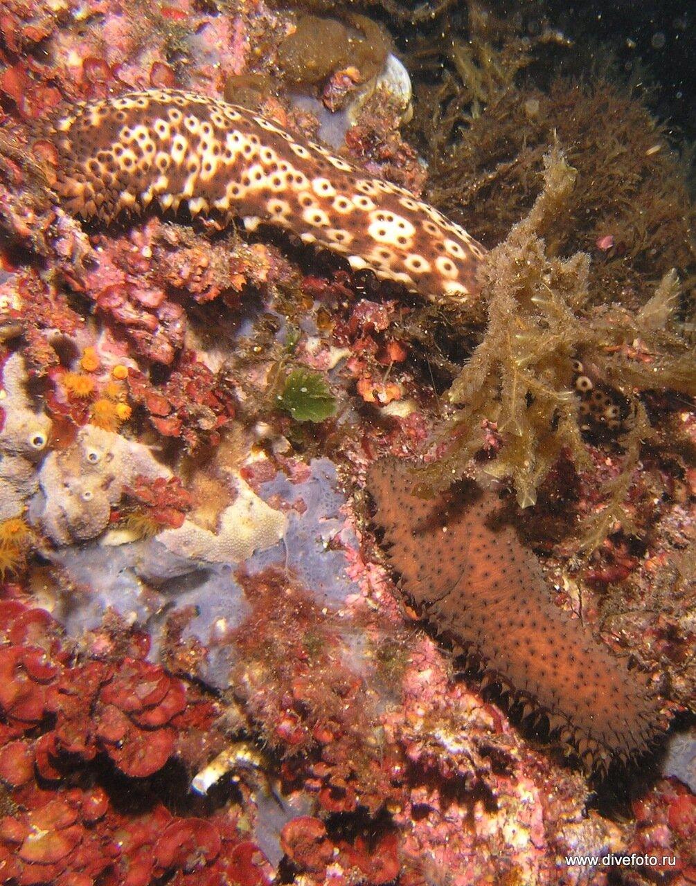 Морские огурцы. Средиземное море. фото