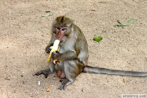 обезьяны едят бананы в храме обезьян в краби
