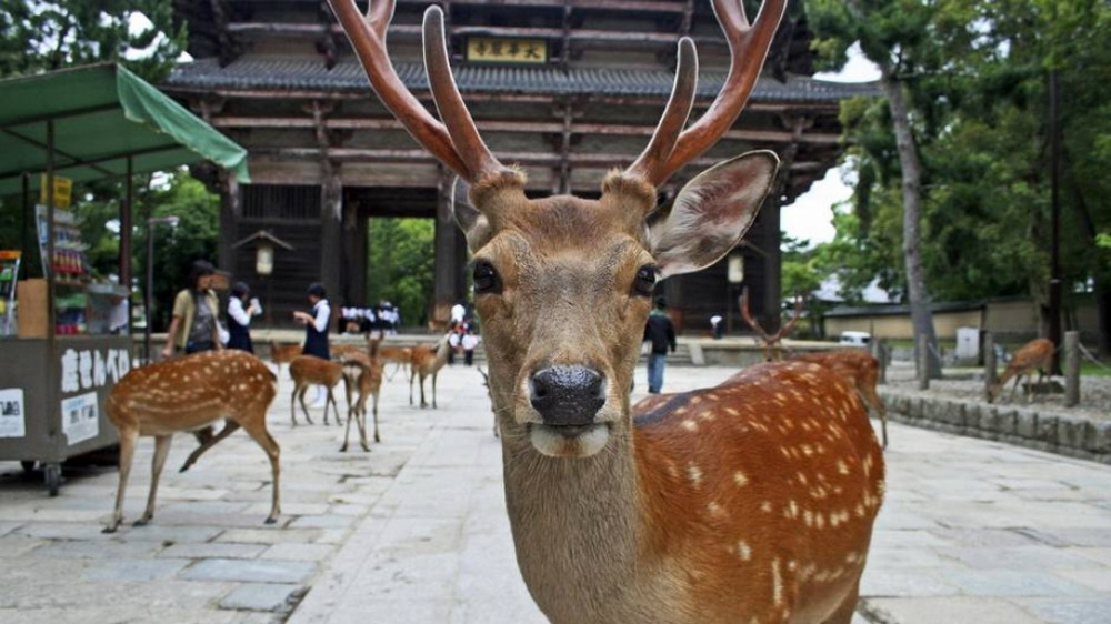 oh-deer-take-the-cutest-selfie-at-japan39s-nara-park-the-globe-throughout-the-awesome-nara-park-japan-regarding-travel-destinations-really-encourage-your-holidays_resize.jpg