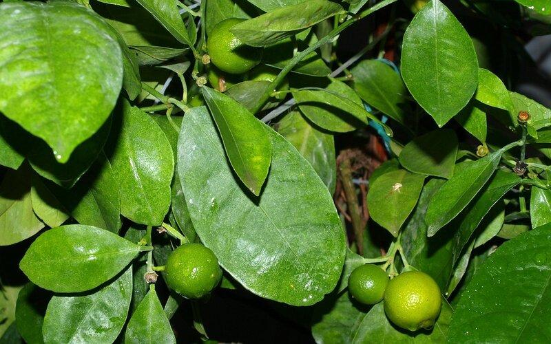 плоды декоративных мандаринов