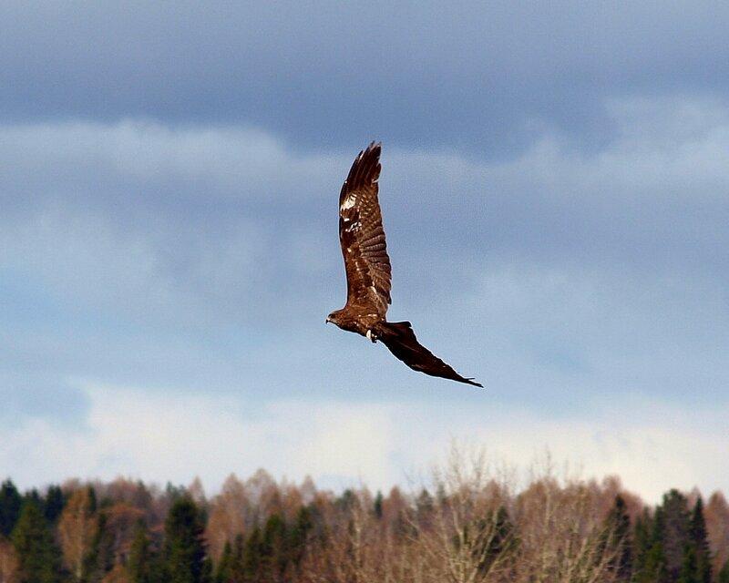Чёрный коршун (Milvus migrans) P5021650_.jpg