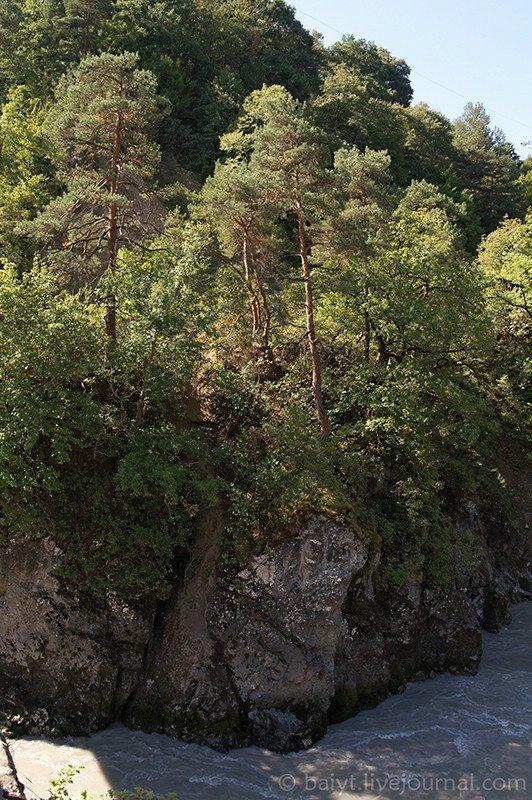 Сосны на обрывистом берегу Риони в Раче