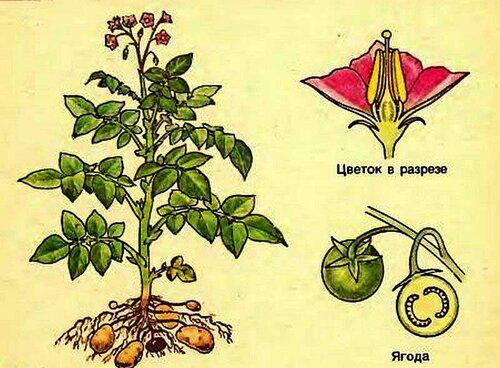 Картофельное растение из учебника ботаники, помните?