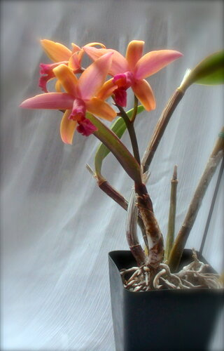 Laelia Little Sunset (Laelia cinnabarina х Laelia pumila)