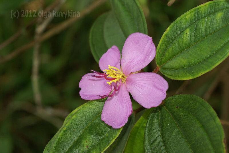 Меластома малабарская (Melastoma malabathricum)