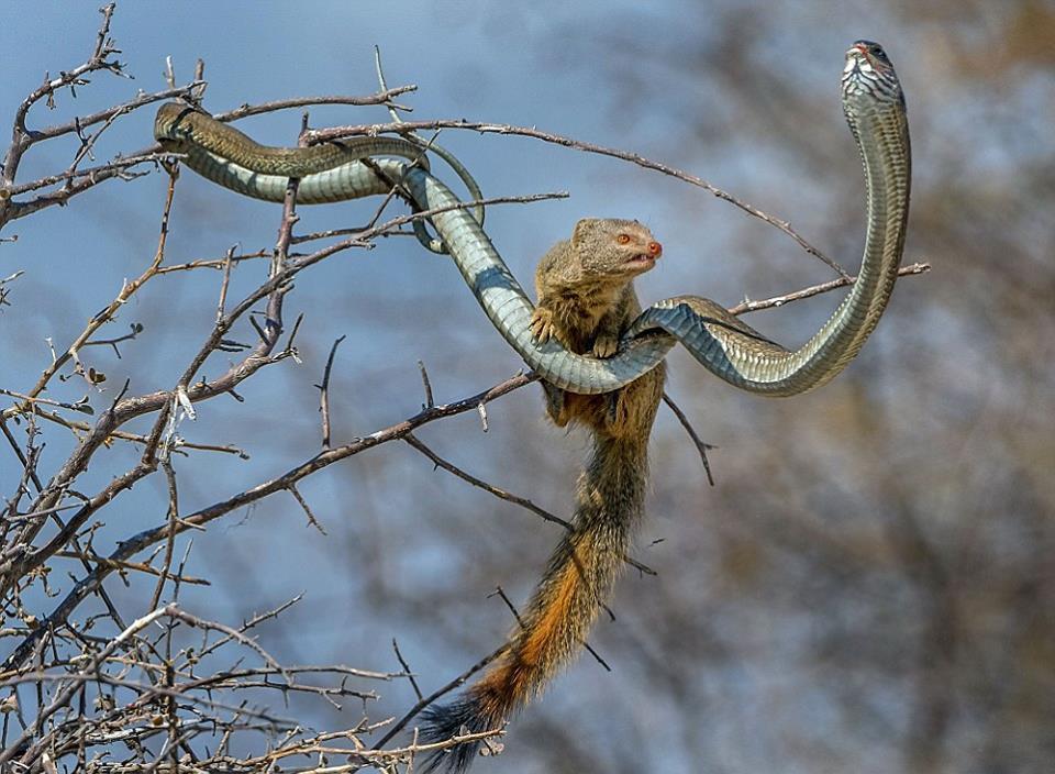 Мангуст перекусил ядовитой змеёй