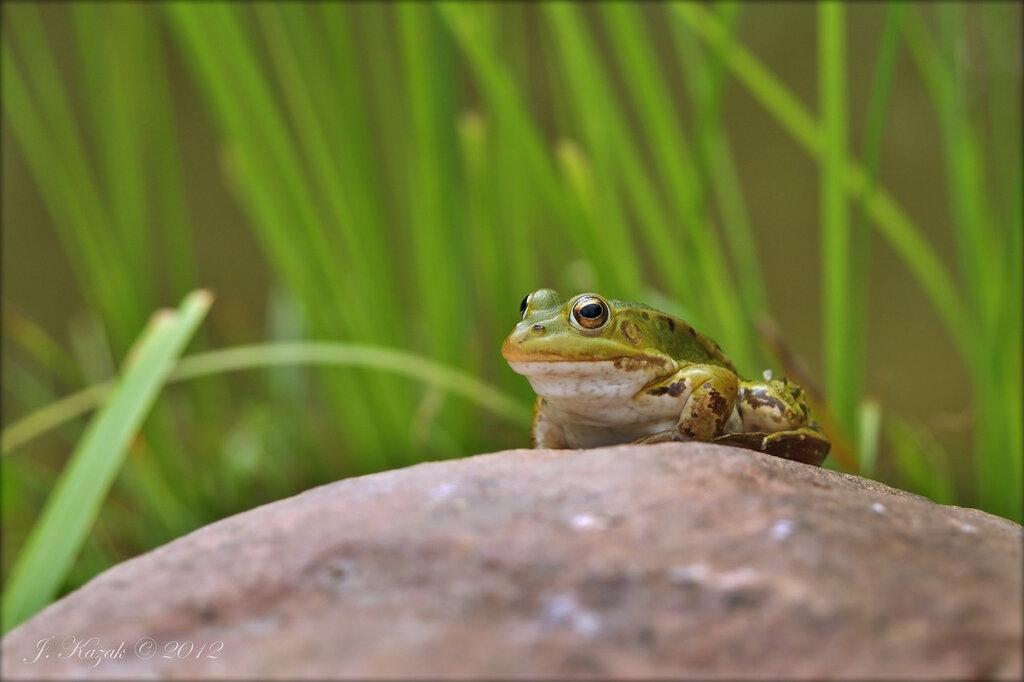 В засаде на камне лягушка сидела...