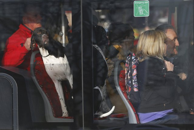 A dog arrives by bus for the second day of the Crufts Dog Show in Birmingham, Britain March 11, 2016