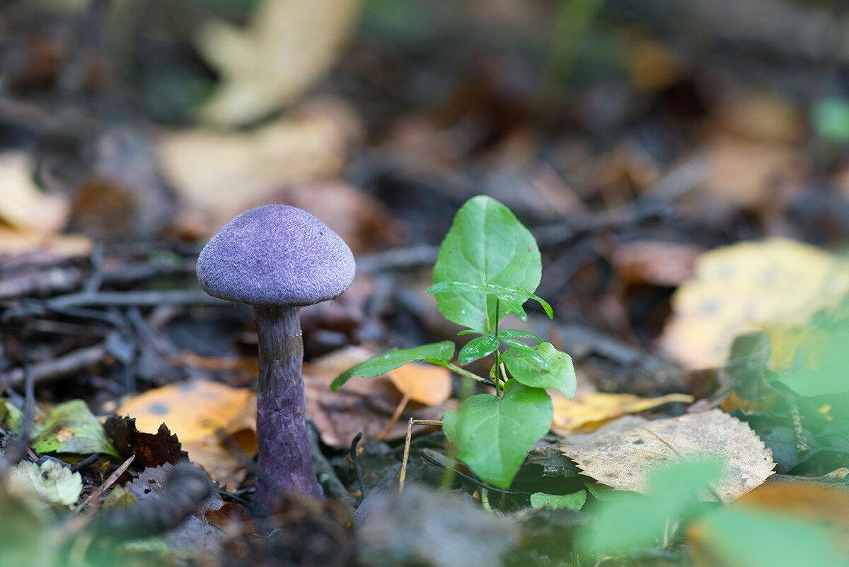 Паутинник <span class=wiki>фиолетовый</span> (Cortinarius violaceus). Автор фото:Владимир Брюхов