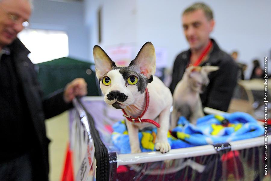 Канадский сфинкс на выставке кошек Содружество